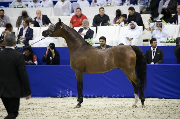 كيو آر مارك (مروان الشقب  xسويت دريمز) مربط نوك – بلجيكا. QR Marc (Marwan Al Shaqab x Swete Dreams) Knocke Arabians-BE