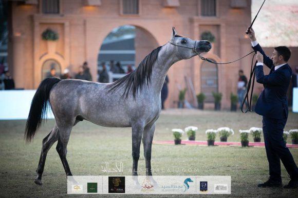 دي نايل (اف ايه الرشيم x دي نوال)  مربط الشيخ سعيد بن مكتوم بن جمعة آل مكتوم – الإمارات.