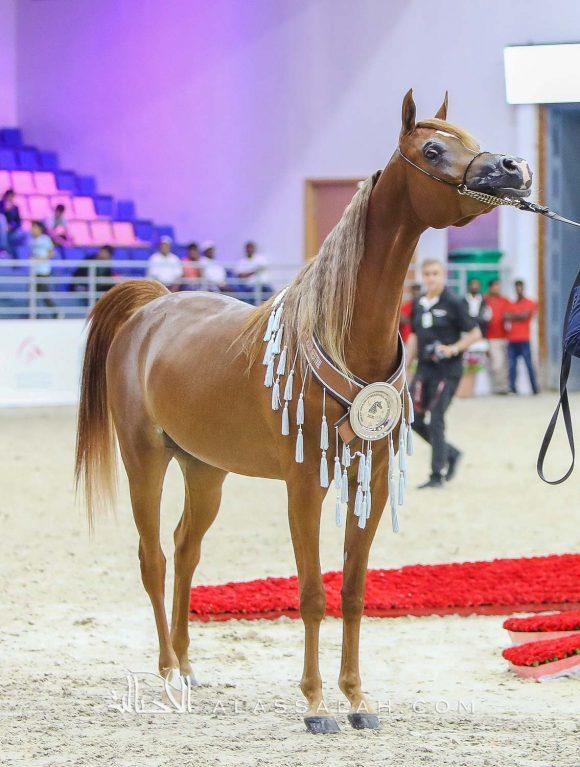 جميلة البداير (اف ايه الرشيم x ديجونام او اس) مربط البداير – الإمارات.