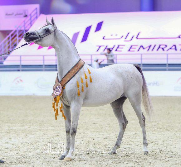 جوري البداير (مروان الشقب x اتش اس جمانة) مربط البداير – الإمارات.