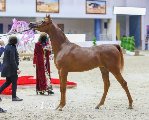 ارجوان البداير (ع ج مرزان x اليزندرا البداير) مربط البداير – الإمارات.