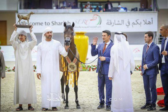 دي شخاط (دي خطاف x دي شيرين) مربط دبي – الإمارات.