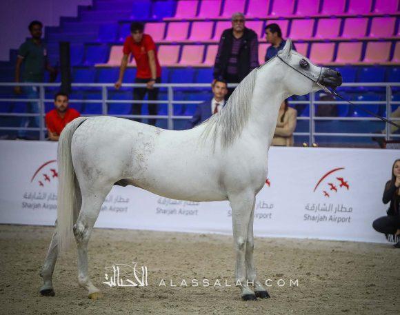 مهادير الجمال (نادر الجمال x ما هيتي الجمال) مربط الشراع – الإمارات.
