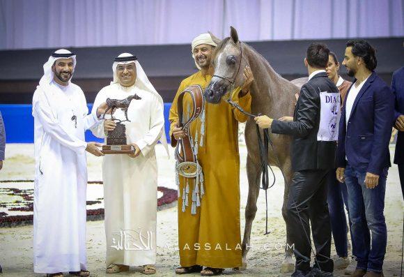 دي جودي (ع ج عزام x إيلي فلامينكا) مربط دبي.