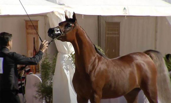 النتائج النهائية لبطولة براغ الدولية للخيول العربية 2020