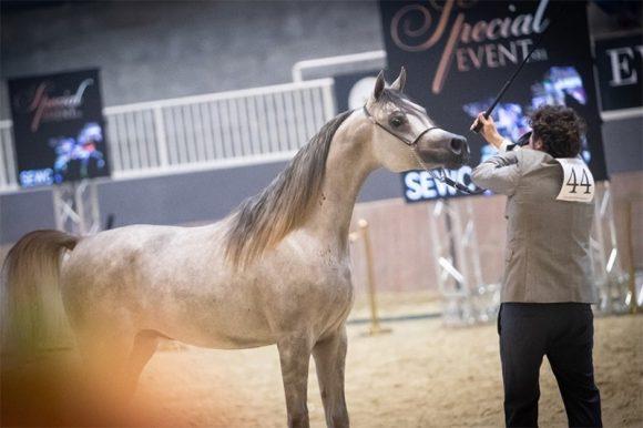 """""""سلام أكمل"""" يتوشح بذهبية الأمهر في بطولة العالم – السلالة المصرية 2020"""