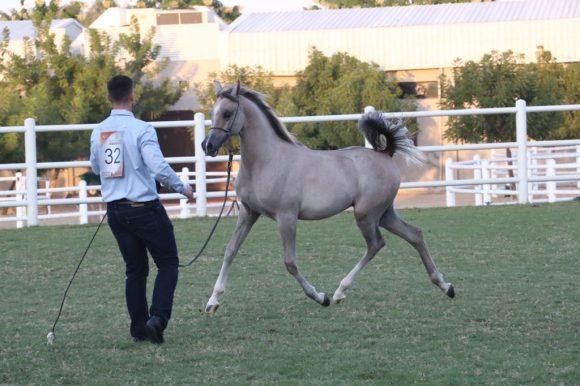 مزاد عجمان للخيول العربية 2020 ينجح بتحقيق 3.8 ميلون من المبيعات