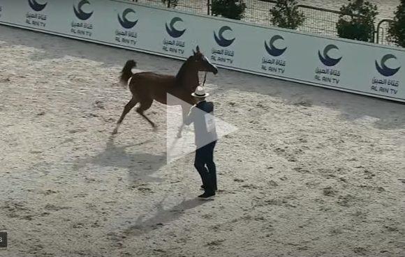 شاهد البث المباشر لبطولـة أبو ظبي الدولية لجمال الخيول العربية 2021 – اليوم الاول