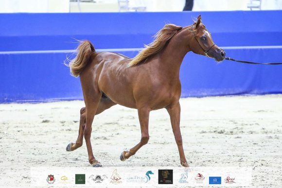 ارجوان البداير (ع ج مرزان x الزيندرا البداير) مربط البداير