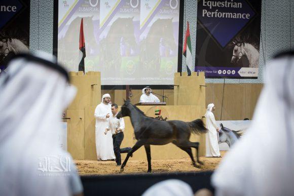 111 جواداً في مزاد دبي للخيول العربية يوم السبت 13 مارس 2021 – قائمة الخيول