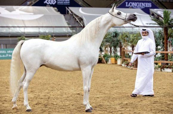 اختتام منافسات بطولة قطر الوطنية التاسعة لجمال الخيل العربية الأصيلة