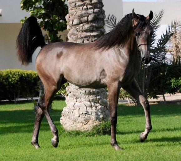 مهرات الأوراسية تهيمن على ذهب وفضة وبرونز المهرات ببطولة فيصل بن حمد بالبحرين