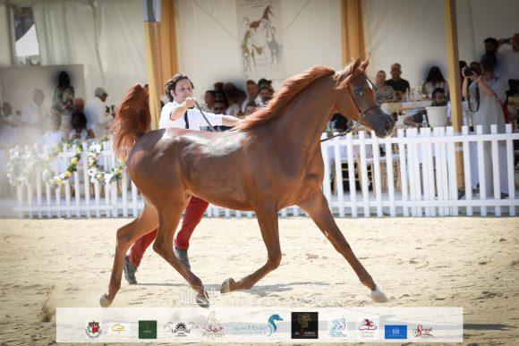 بيرفيكتا الجاسمية (بيكاسو دي آي مار x جزانة الجاسمية ) مرزعة الجاسمية – قطر