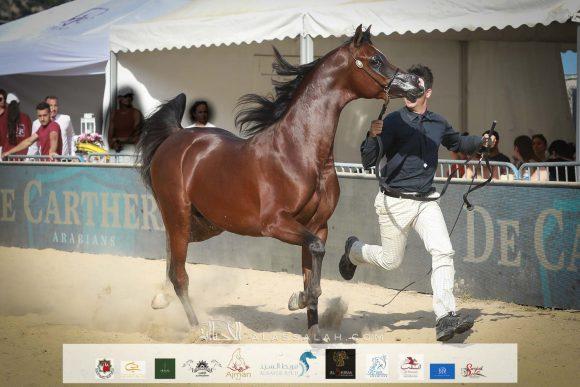 دي شيماز (اف ايه الرشيم x ليدي فيرونيكا) مربط دبي – الإمارات
