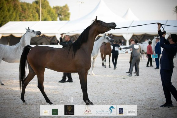 """"""" الإمارات للخيول العربية"""":أكثر من 15 ألفاً عدد الخيول العربية الأصيلة المسجلة في الجمعية"""