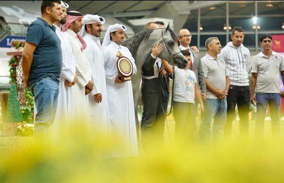 بخماسية ذهبية وفضيتان خيول الشقب تكتسح منافسات النسخة الأولى لكأس قطر لمنتجي الخيل العربية