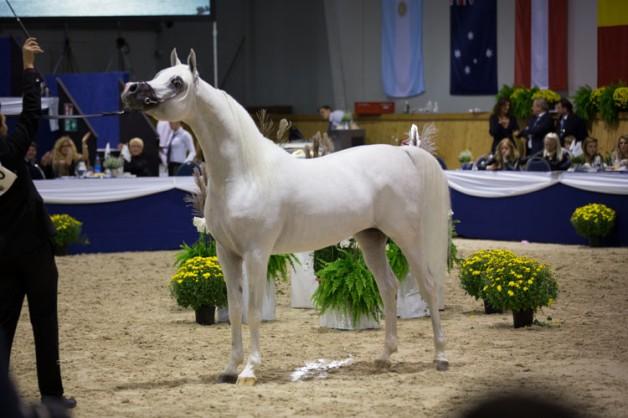 الخيول العربية قبلة الكويتيين… اقتناء ورياضة