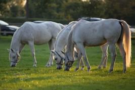 عملية هضم الطعام عند الخيول