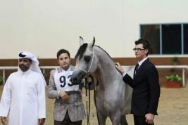 اليوم انطلاق البطولة المحلية للأهالي بقطر لجمال الخيل العربية