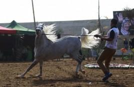 هل شارك أسرائيليون في البطولة العاشرة لجمال الخيل في اريحا؟