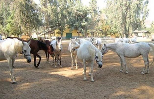 لجنة من الزراعة لكشف أسباب نفوق 4 خيول عربية بمحطة الزهراء