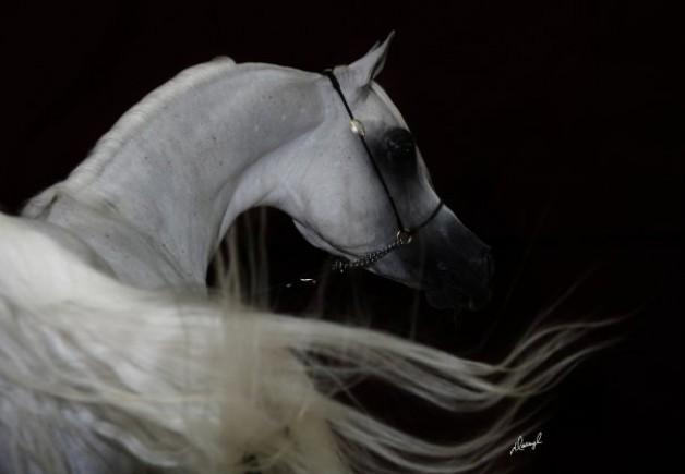 """مصر- """"الزراعة"""": رفع حظر تصدير الخيول المصرية لدول الاتحاد الأوروبى قريبا"""