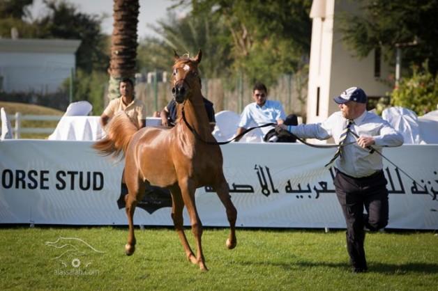 بدء التسجيل ببطولة ابوظبي الدولية لجمال الخيل العربية الأصيلة ٢٠١٥