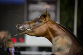 صور مقتطفة من اليوم الثالث لبطولة ابوظبي الدولية لجمال الخيل العربية الأصيلة ٢٠١٤