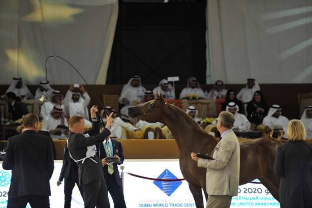 """اللجنة المنظمة لبطولة دبي للجواد العربي تفكر في بطولة جديدة خاضعة لمعايير """"الإيكاهو"""""""