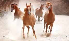الإمارات الأولى عربياً بإمتلاكها ١٣ ألف من الخيول العربية الأصيلة