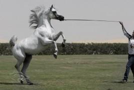 مربط دبي للخيول العربية يفتح أبوابه لضيوف بطولة دبي للجواد العربي