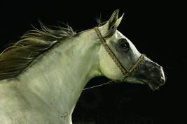 أول بطولة لجمال الخيول العربية في فلسطين