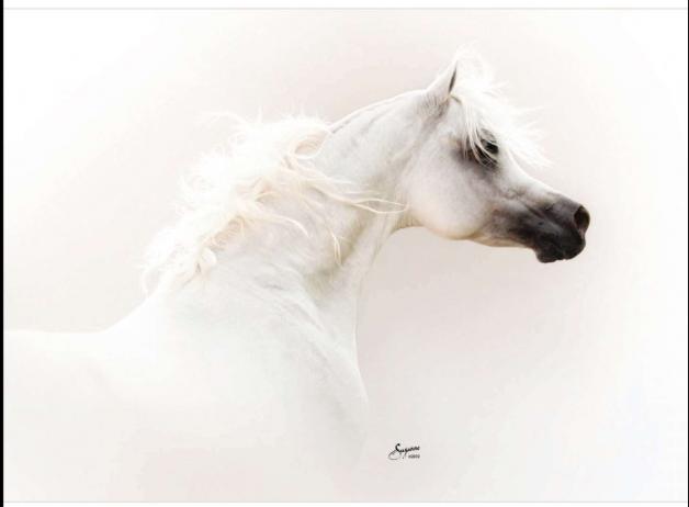 «بيت العرب» ينظّم المزاد السادس للخيول الأربعاء