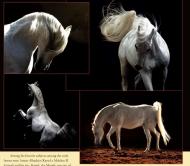 الهيئة الزراعية المصرية تقيم مزادها السنوي للخيول العربية فى منتصف يونيو القادم