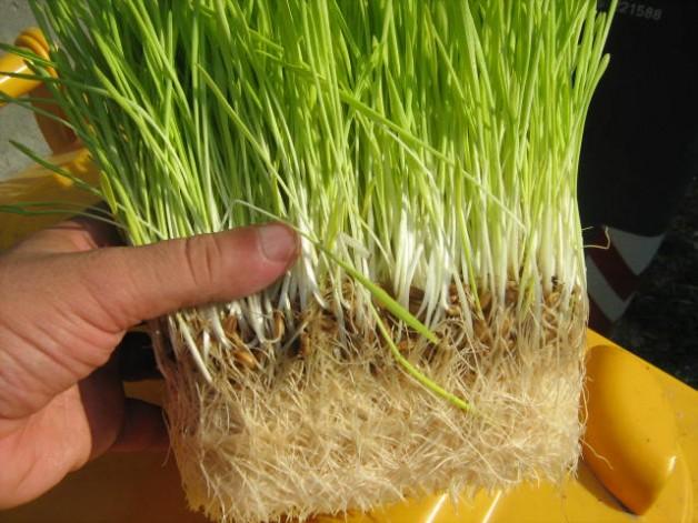 الشعير المستنبت .. فوائد غذائية واقتصادية