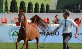 بطولة منطقة مكة المكرمة (جدة) السادسة لجمال الجواد العربي في اكتوبر المقبل