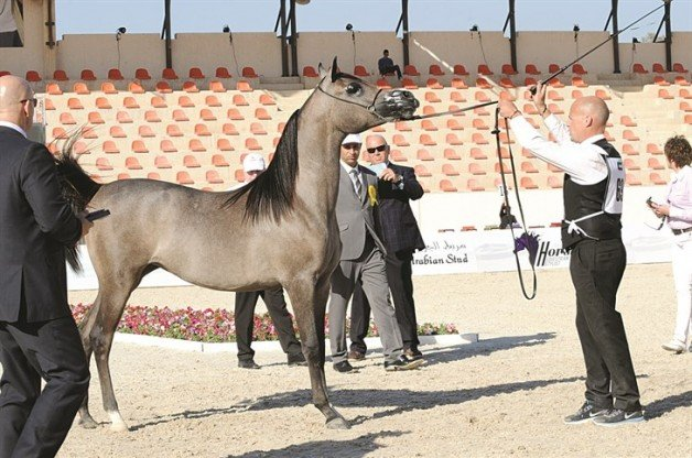 مستويات مميزة مع انطلاقة بطولة الكويت الدولية الرابع لجمال الخيل العربية الأصيلة