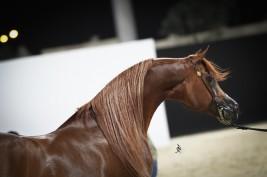 Qatar 25th Arabian Horses Show Festival