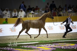 Photo Gallery for the 1st day of Dubai 2015 International Arabian Horses Championship