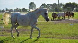 Arabian horses … bold and beautiful
