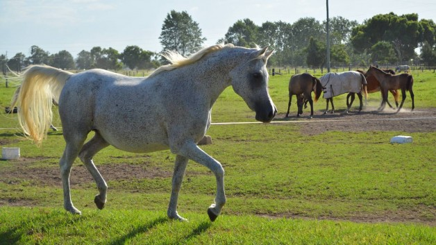 Arabian horses … bold and beautiful