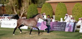 Al-Khalidiya Farm Achieves 1,35 Million Saudi Riyals and Returns  Half of the Horses Displayed for Sale