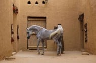 A Notice from U.S:  Saudi Arabia is Free of African Horse Sickness (AHS)