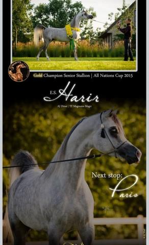 E.S. Harir | Gold Champion Senior Stallion Aachen 2015