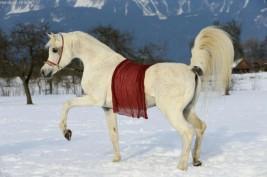 الخيول في الشتاء