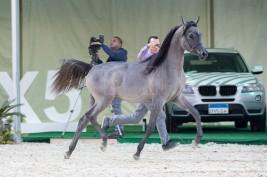 اليوم .. يقام مزاد علني لبيع الخيول العربية بوزارة الزراعة بمصر