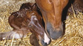 How to Predict When a Mare Will Foal