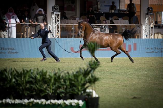 بدء التسجيل في مهرجان الأمير سلطان بن عبدالعزيز ٢٠١٧ لجمال الجواد العربي