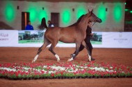 Kickoff of the 1st Championship of Fujairah Arabian Horses Show