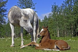 Does Dam or Sire Age Affect Offspring Gender?